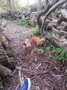 Hondjes uitlaten...Spike en Sweetie, 1 mei 2013