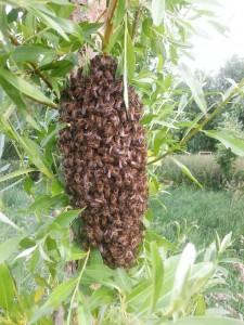Bijenvolk 19 juni 2013