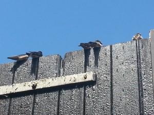 Jonge zwaluwen, juni 2013