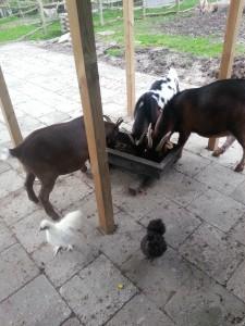 De geiten hebben gezelschap gekregen van 2 Zijde hoender haantjes, Sjors en Sjimmie 23 oktober 20132