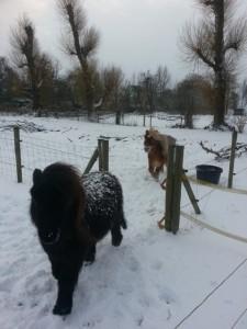 De pony's genieten erg van de sneeuw!!